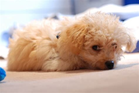 havanese chihuahua mix for sale 302 found