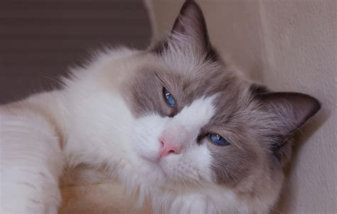 a ragdoll to 18 loving and docile ragdoll cat images hd