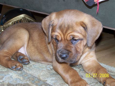 mastiff rottweiler mix puppies rottweiler bullmastiff mix puppies www imgkid the image kid has it