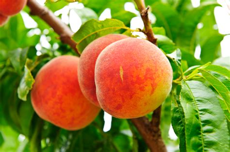 u fruit michigan peachy keen u in southeast michigan metro