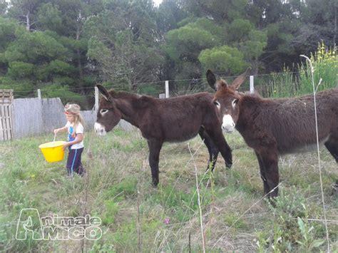 animali da cortile in vendita vendita amiata da privato a grosseto animali da cortile
