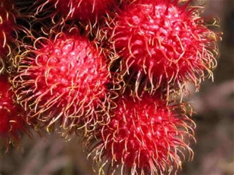 Jual Bibit Rambutan Parakan traditional sri lanka foods july 2007