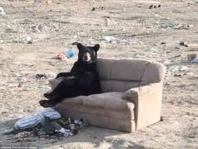 can you shoo a couch mandy stantic photographs black bear relaxing on a couch