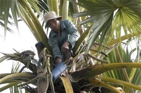 Bumi Indah Gula Merah Batok Kecil by Kebun Siwalan Pohon Lontar Jeneponto Butuh Industri Gula