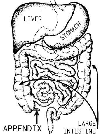 appendix location diagram appendix lesson for study