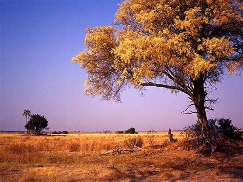 Knob Acacia by Kruger National Park Eco Zones And Biodiversity