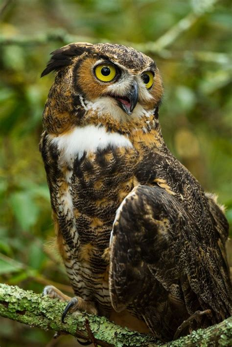 95 Best Owl Images On Animal - 17 best images about corujas on pictures of