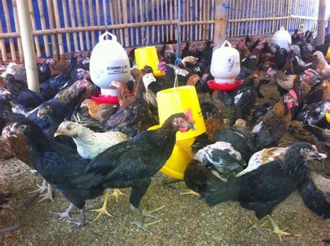 Jual Bibit Ayam Joper cara cepat beternak ayam kung atau ayam