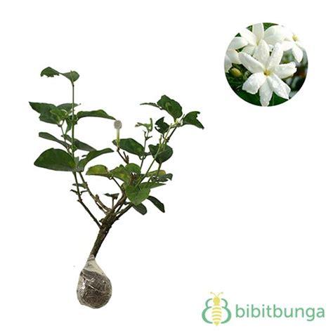 Tanaman Bunga Melati tanaman melati kung jual tanaman hias