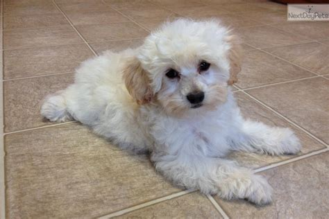 peekapoo puppies for sale in nc pekepoo puppy for sale near wilmington carolina 187ba343 fc01