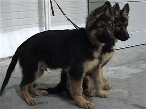 baby german shepherd puppies for sale 45 best images about german shepherd puppy s on german shepherd puppies
