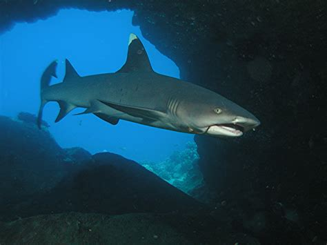 40 Meters In Feet by Whitetip Reef Shark Life Of Sea