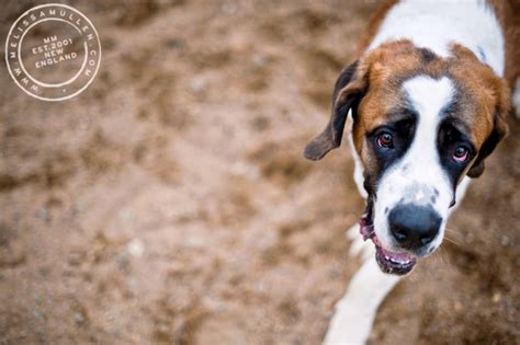 puppy adoption maine dogs and cats available to adopt at aws in kennebunk maine
