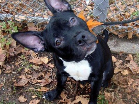 adopt a nyc adopt a pet in new york city featured animals for 12 28 2012 courtesy of nyc s
