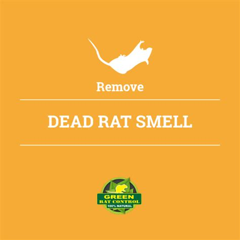 dead rat smell remove dead rat smell green rat attic cleaning