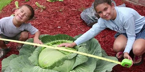 a little girl grew a 40 pound cabbage feeding 275 people grew a 40 pound cabbage feeding 275 now she s it