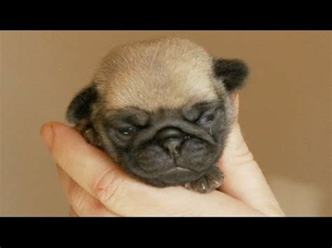 tiny pug puppies a handful of tiny pug puppy