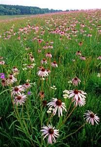 The Best Flowers pale purple coneflower nachusa grasslands il photo