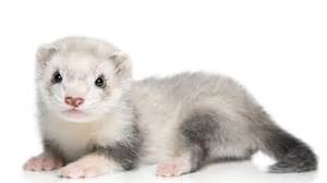 White baby ferrets ferret nation the pefect ferret cage pet care