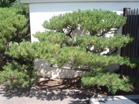 prune pine tree japanese style google search pine tree shapes pinterest trees beauty