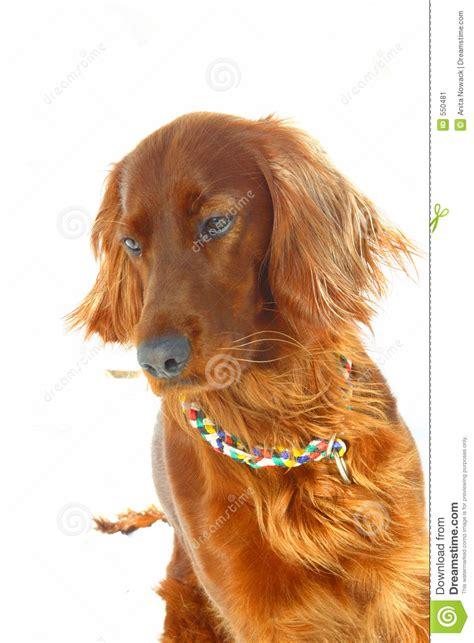 irish setter dog time dog irish setter stock image image 550481