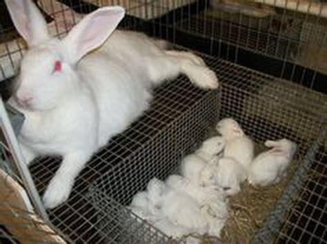 Giant Rabbit Hutch Rabbit Husbandry Lionhead Rabbit Babies In A Dropdown