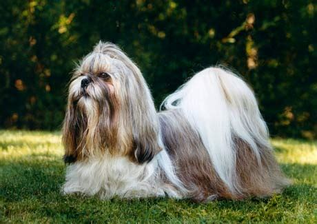 shih tzu and bad shih tzu k 246 pahund se