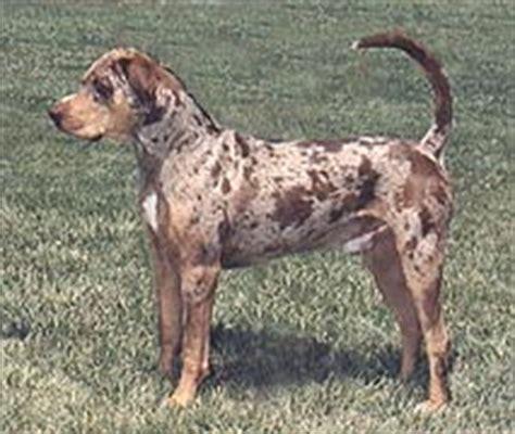 catahoula puppies for sale california puppies for sale catahoula leopard louisiana catahoula leopard dogs catahoulas