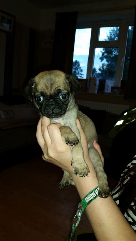 pugs for sale lincolnshire 3 4 pugs for sale grantham lincolnshire pets4homes
