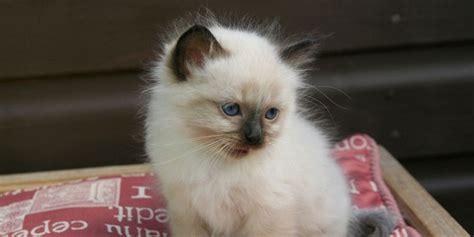 cat price birman information characteristics facts names