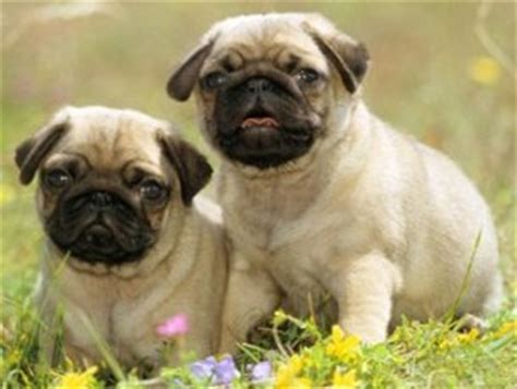 pugs in china find the best puppy breeder if you like to a puppy the pets central