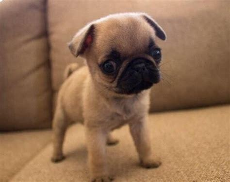 pug vs baby 17 best ideas about baby pugs on baby pugs pugs and pug puppies