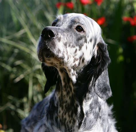 english setter started dogs for sale english setter puppies for sale coleford
