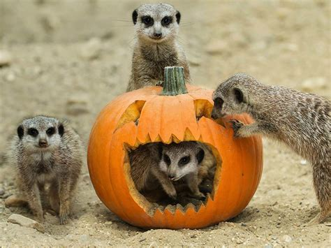 gourd adorable zoo animals play  halloween pumpkins todaycom