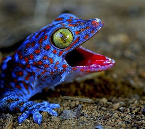 the incredibly mean tokay gecko geckos pinterest the o jays sayings and lol