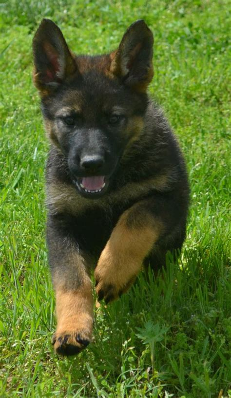 k9 puppies for sale image gallery k9 puppies
