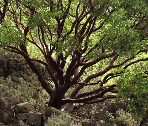 ben hurds trees arctostaphylos dr hurd
