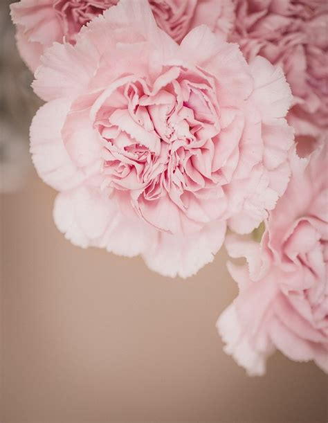 Rosa Blumen by Free Photo Cloves Flower Pink Pink Flowers Free