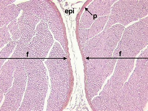 peripheral nerve cross section chapter 8 page 4 histologyolm