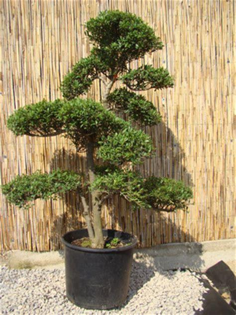 genki bonsai gartenbonsai genki bonsai