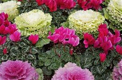 piante invernali da vaso 10 fiori da balcone invernali