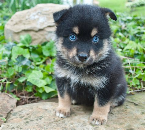 what is a pomsky puppy pomsky dogs the pomeranian husky mix