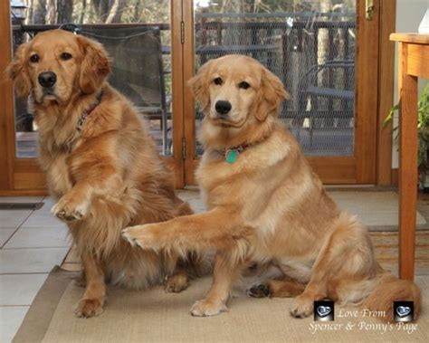 why do golden retrievers put their paw on you 711 best dogs images on animals animal quotes and dogs