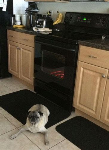 are pugs guard dogs guard the pug