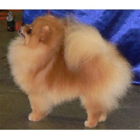 pomeranian breeders va pomeranian breeders in pennsylvania freedoglistings