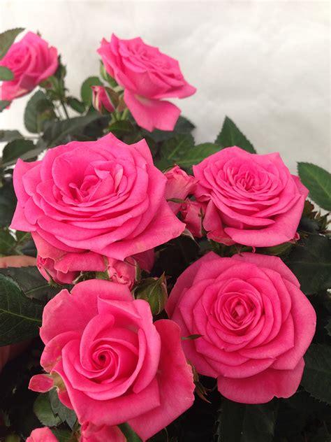 forever roses the carlton rose yet another bestseller roses forever