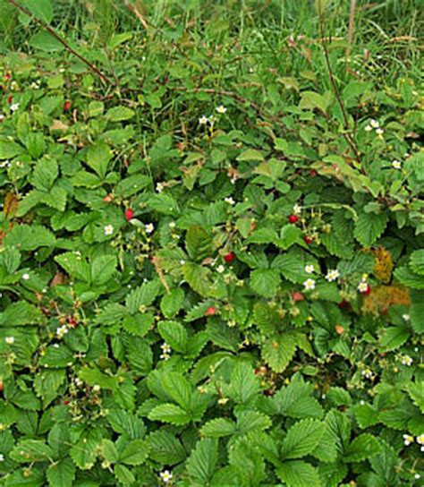 stauden stöcker wald erdbeere fragaria vesca