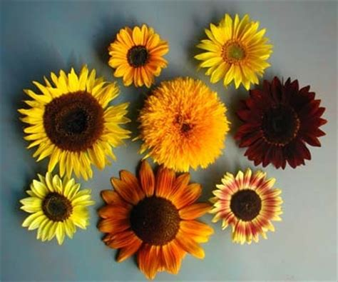 colors of sunflowers different color sunflowers for bouquet wedding