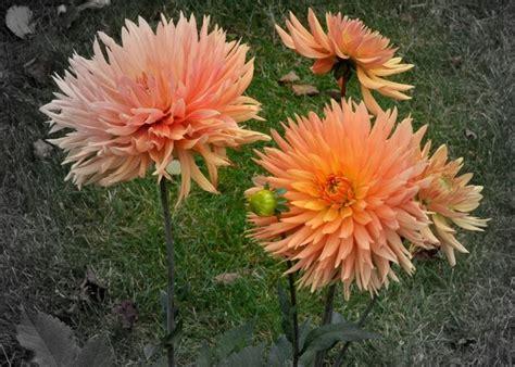 fiori dalia dalia fiore piante perenni coltivare dalia