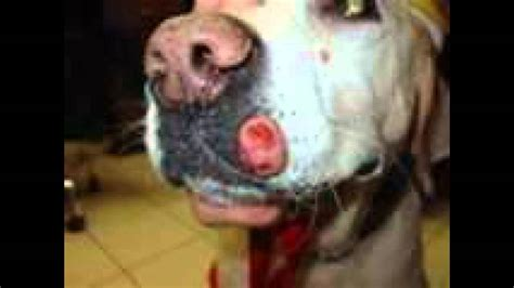 sarcoma in dogs tumor or growth on a